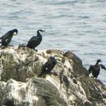 ウミウ 日本周辺に生息する海鳥
