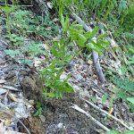 山菜 ウド 根も茎も葉も3か所すべて食べられかつ薬草ともなる山菜