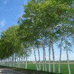 白樺の防風林 80年の短い樹命