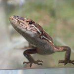 カナヘビ 日光浴好きな可愛く長いトカゲ 体は8cm 尻尾は16cm
