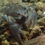 二ホンザリガニ 絶滅の危険が増大しているかわいいザリガニ