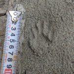 アライグマ捕獲強化月間 12,354頭のアライグマパトロールへ
