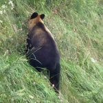 記録 106年振りに利尻島ヒグマ上陸 道内の10000頭以上のヒグマたちの行先