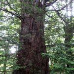 パワースポット黄金水松 樹勢・風格 日本一の巨木イチイ