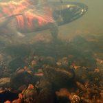サクラマスとヤマメ 違う名前 違う姿 同じ魚