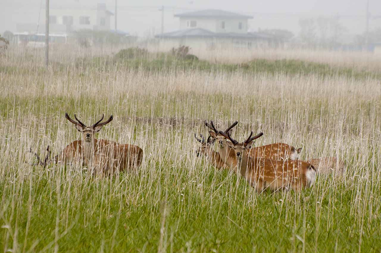 エゾシカ deers