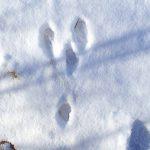 走力と跳躍力が生存戦略 エゾユキウサギの足跡の特徴