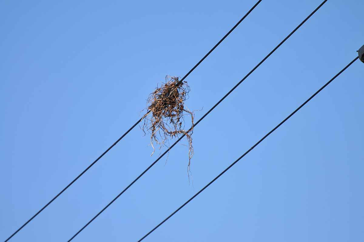 電線にカラスの枯草