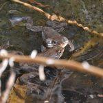 カエルの産卵 春の森ではカエルの歌がコダマする