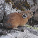 エゾナキウサギ 生きた化石の探し方