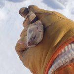 北海道のネズミ事情