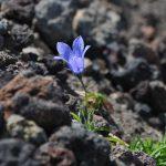 イワギキョウ 風衝地に咲く花