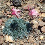 コマクサ 盗掘される高山植物の女王たち