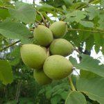 オニグルミ 森の動物たちの大切な栄養源