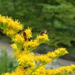 オオアワダチソウにて 短い夏を一所懸命に生きる羽虫たち