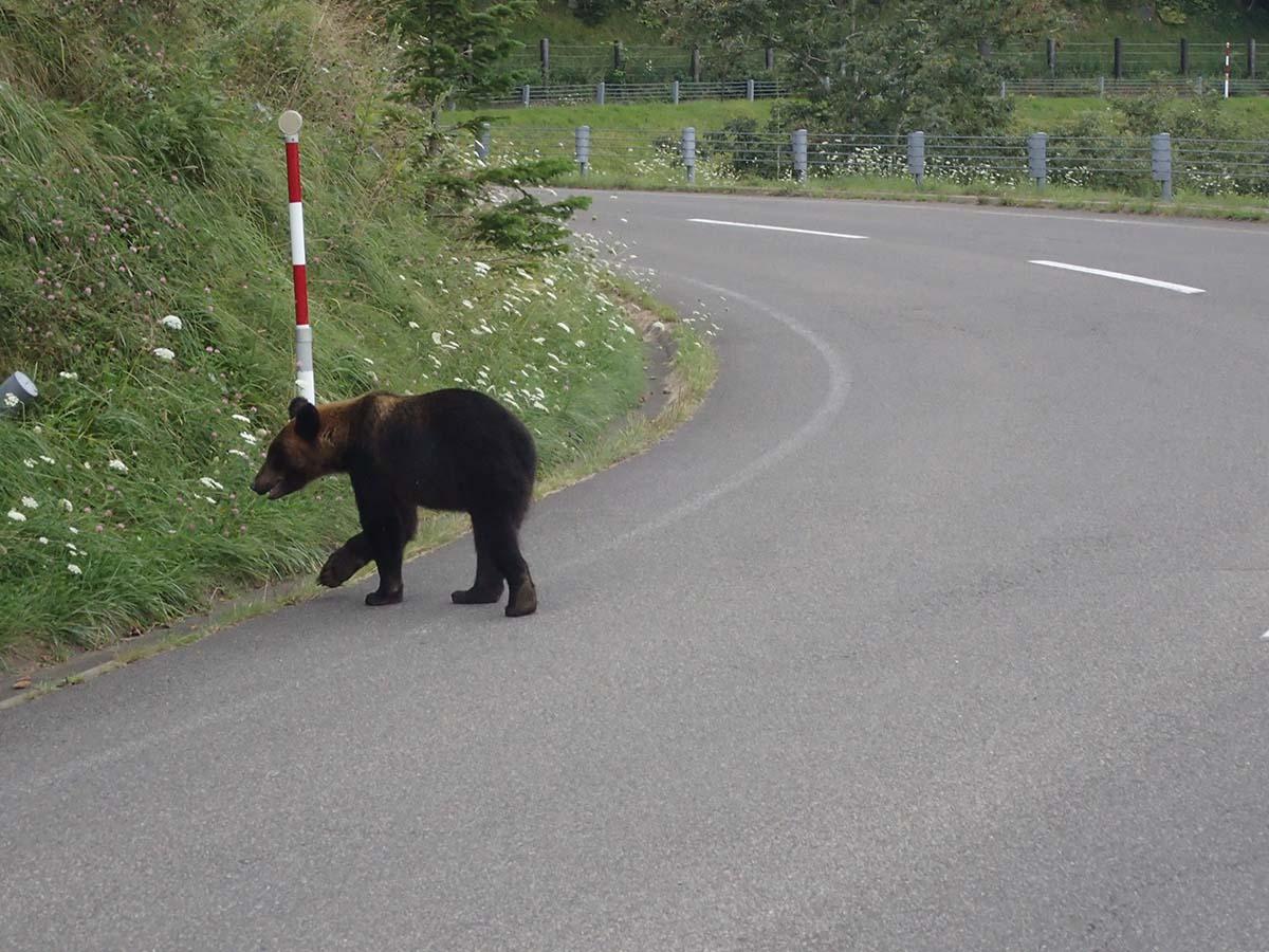 道路上のヒグマ