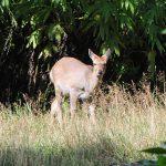国立公園内 のんびりエゾシカたち エゾシカは一歳から妊娠する