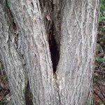 木の洞(ウロ)に蜂蜜が貯まり最初の酒となる 蜂蜜酒の作り方