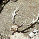 エゾシカの頭骨