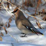 キレンジャク【黄連雀】 毎年やって来ない理由と美しい羽の理由