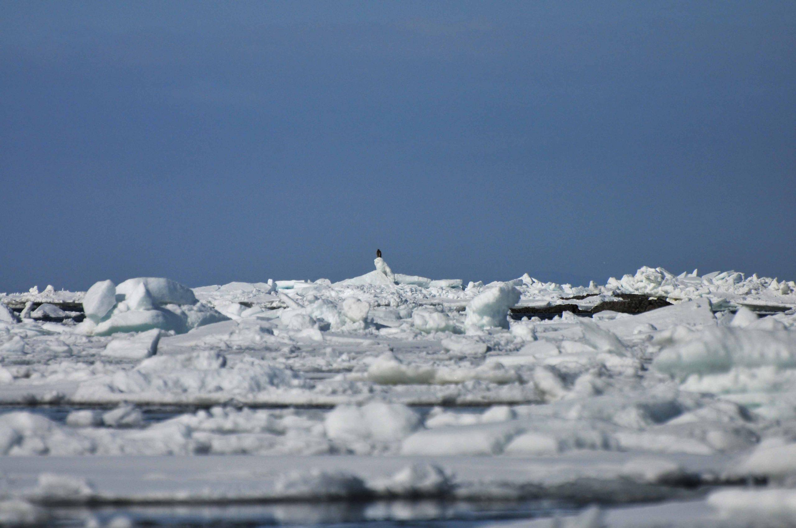 知床流氷のオオワシ