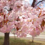 エゾヤマザクラの特徴 北海道のサクラは素朴な葉桜