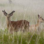 街中に現れたエゾシカを捕まえてきた 網で鹿を捕まえるのは難しい話