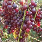 ブドウの収穫 旬は初霜が降りる頃