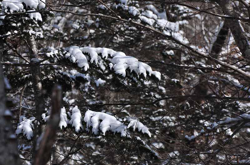 雪がかかる針葉樹