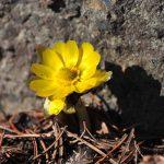 福寿草が咲いた 北海道でフクジュソウが咲く時期は? 強毒と薬草としても