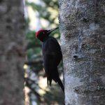 クマゲラとアポイ岳で出会う 姿・分布・生息環境・食性・繁殖・生息数について