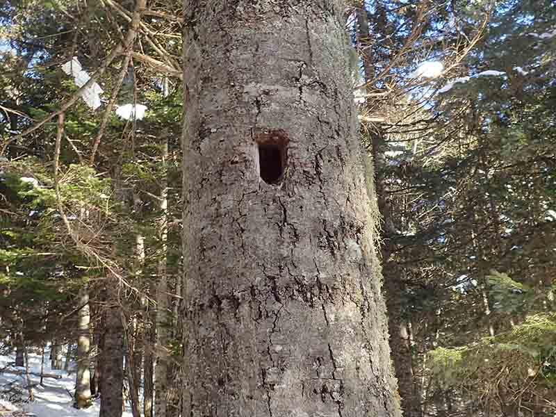 クマゲラの穴