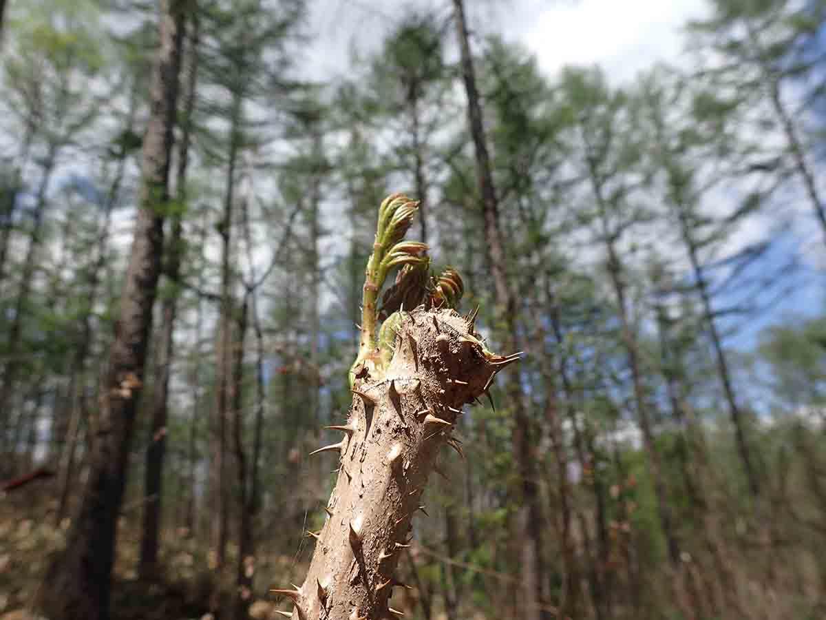 タランボの芽
