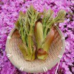 山菜タラの芽(タランボ)とは、採り頃や冷凍保存方法・レシピについて