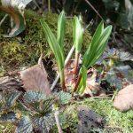 山菜の王様行者ニンニクの時期は4月中旬から5月上旬まで 行者ニンニクの時期や味について