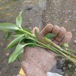 ユキザサ(アズキナ・ササナ)の探し方 食べ頃の時期や味、毒草ホウチャクソウとの見分け方
