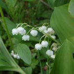夏至に近づき北海道ではスズランが咲き始めた スズランの生育場所・毒性・育て方