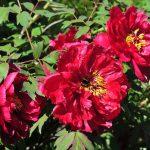 立てば芍薬座れば牡丹歩く姿は百合の花 ことわざの意味は薬草の効果を表す