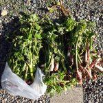 定番の春の山菜ウドを採りにいってきた ウドを探すポイントは枯れ茎