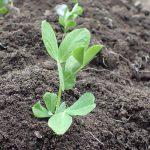 スナップエンドウ(スナックエンドウ)を植えてみた 育て方:種から発芽、定植、ネット張りまで