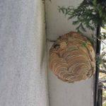 スズメバチがやってきた 庭や物置にスズメバチが巣をつくった時の対処方法