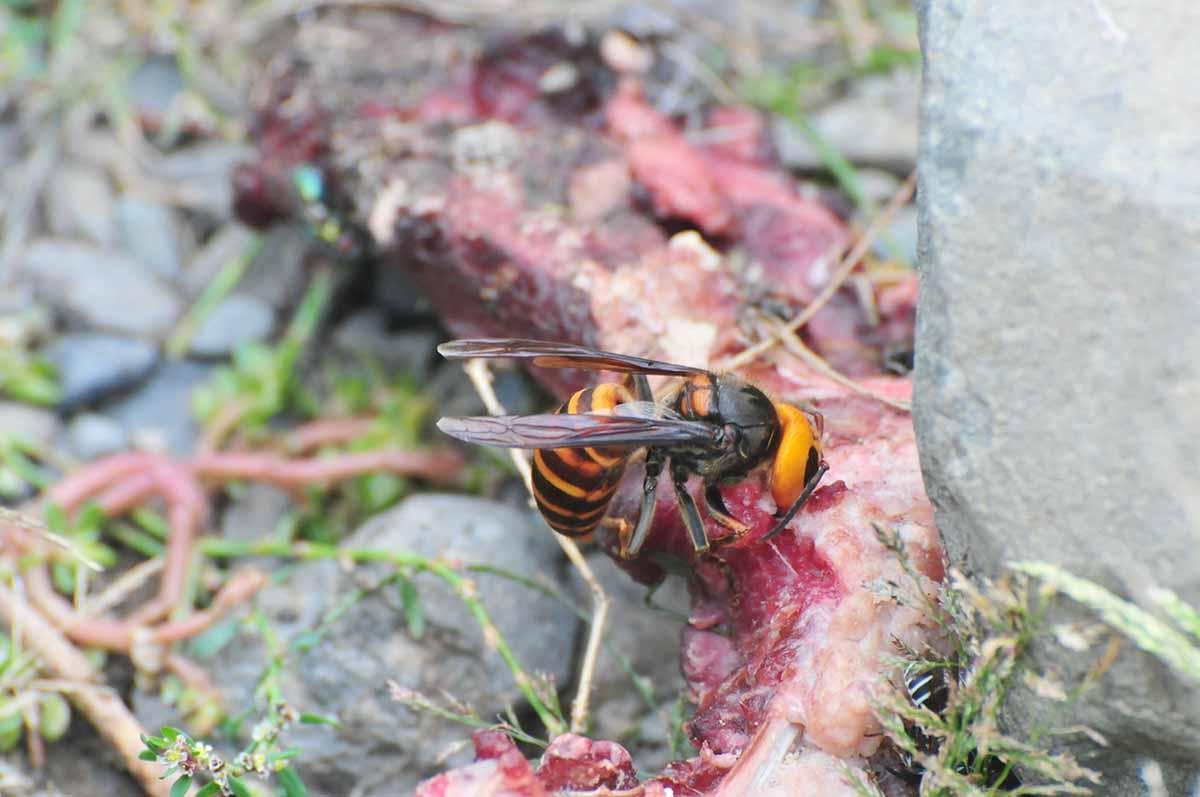 鹿肉を食べるスズメバチ