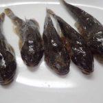ハナカジカ 不細工な顔に似合わずに品のあるダシがとれる川魚 日干しは2-10日間
